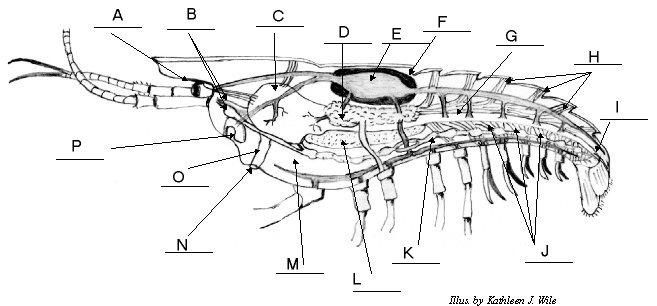 External anatomy of crayfish