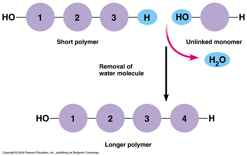 dehydration synthesis - these processes are complete opposites as they exist throughout nature and are vital to how bio-molecules are formed with water through these processes are how all.