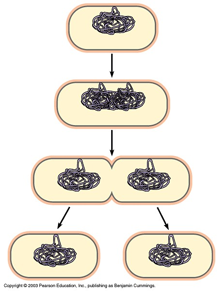 binary fission Start studying binary fission learn vocabulary, terms, and more with flashcards, games, and other study tools.