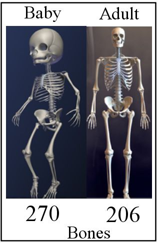 Average system adult skeletal the about