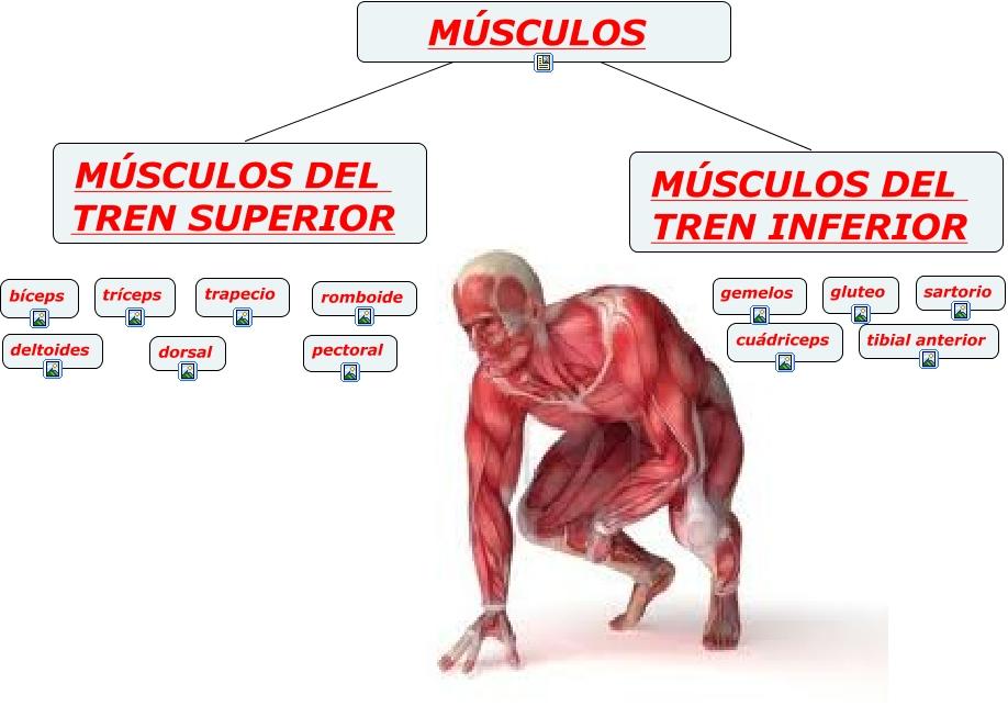 INTRODUCCION - Los Musculos