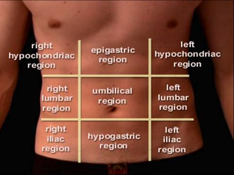 4492545 in addition 9 Regions Of The Abdomen additionally Rib Cage Diagram With Organs additionally 23 Peritoneum furthermore Intro To The Human Body Directional Terms Planes Quadrants And Regions. on abdominopelvic cavity organs