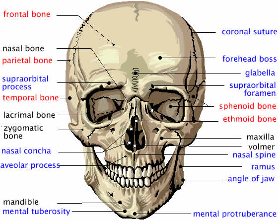 Face anatomy bones