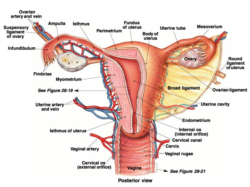 Female Reproductive on 7 3 Oil Schematic