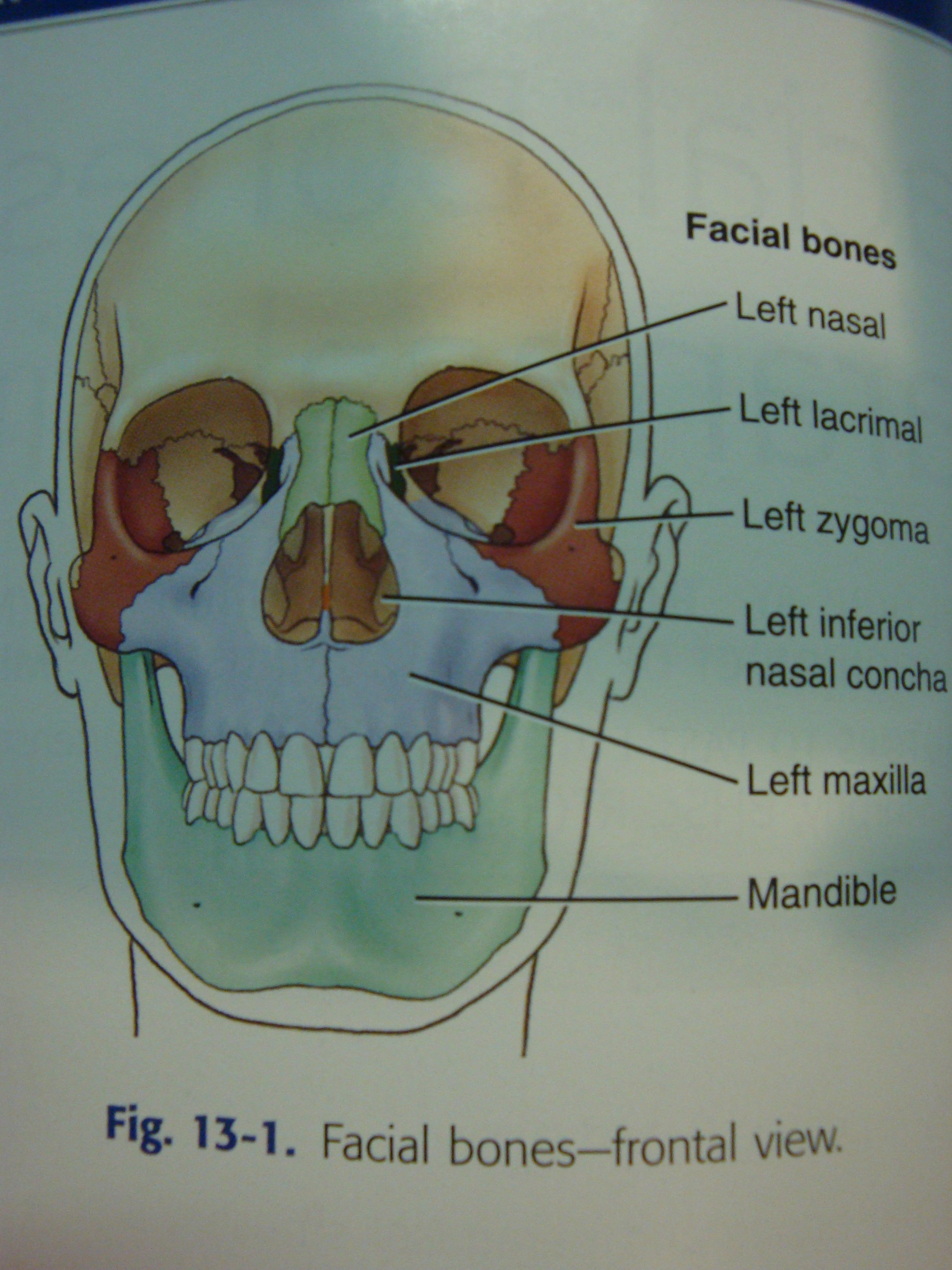 Facial Bones Anatomy