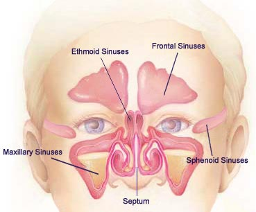 Sinus Cavities