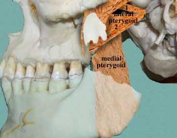 lateral pterygoid cadaver - photo #28