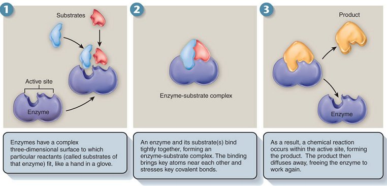 14.1 PROPERTIEDS OF ENZYME AND MECHANISM OF ACTION_lina