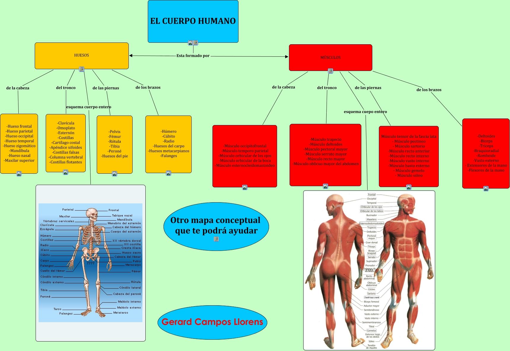 Excelente Diagrama De Cuerpo Músculo Viñeta - Anatomía de Las ...