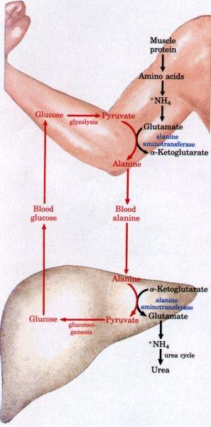 cycle de propionate