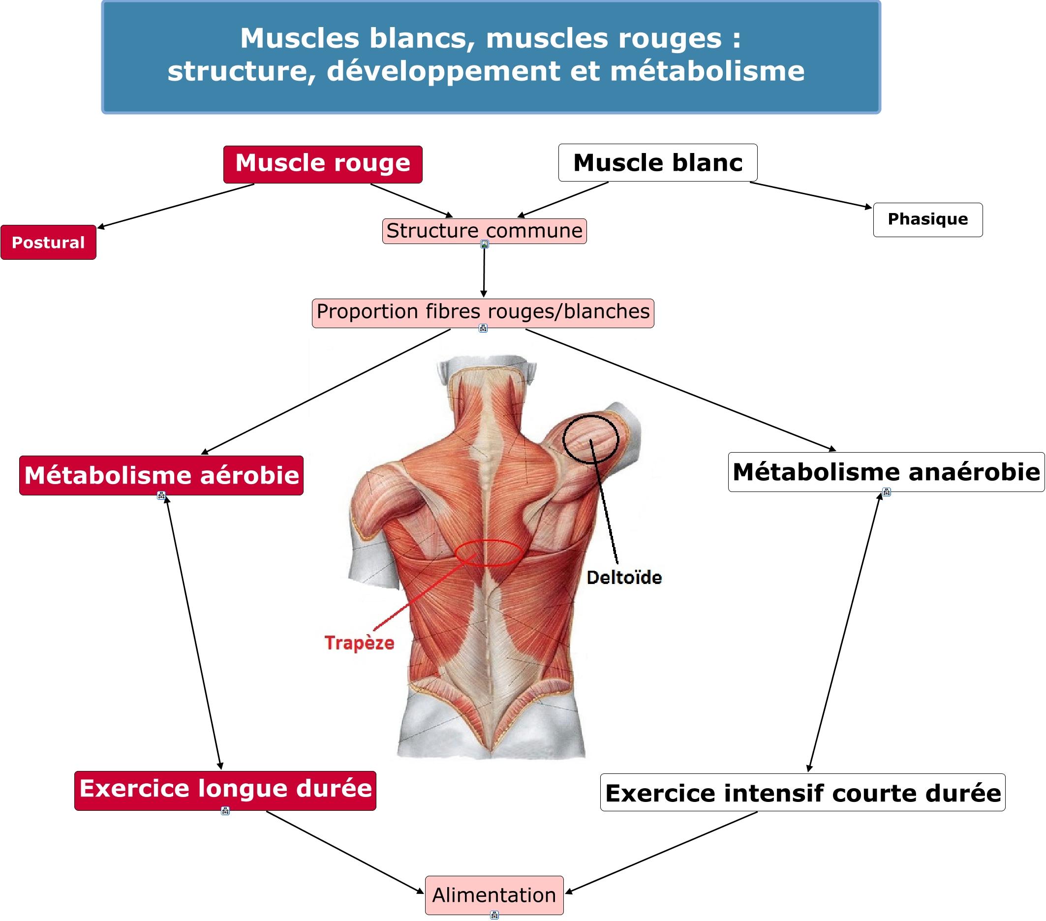 Carte 2 Muscles blancs rouges