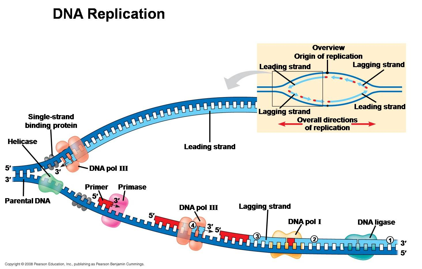 10 DNA structure and replication furthermore DNA double helix moreover Dna Helix Structure Editable Ppt moreover Ribbon Of Life Dna Modern Sculpture Public Art likewise Nucleic Acids Function Structure Quiz. on dna helix labeled
