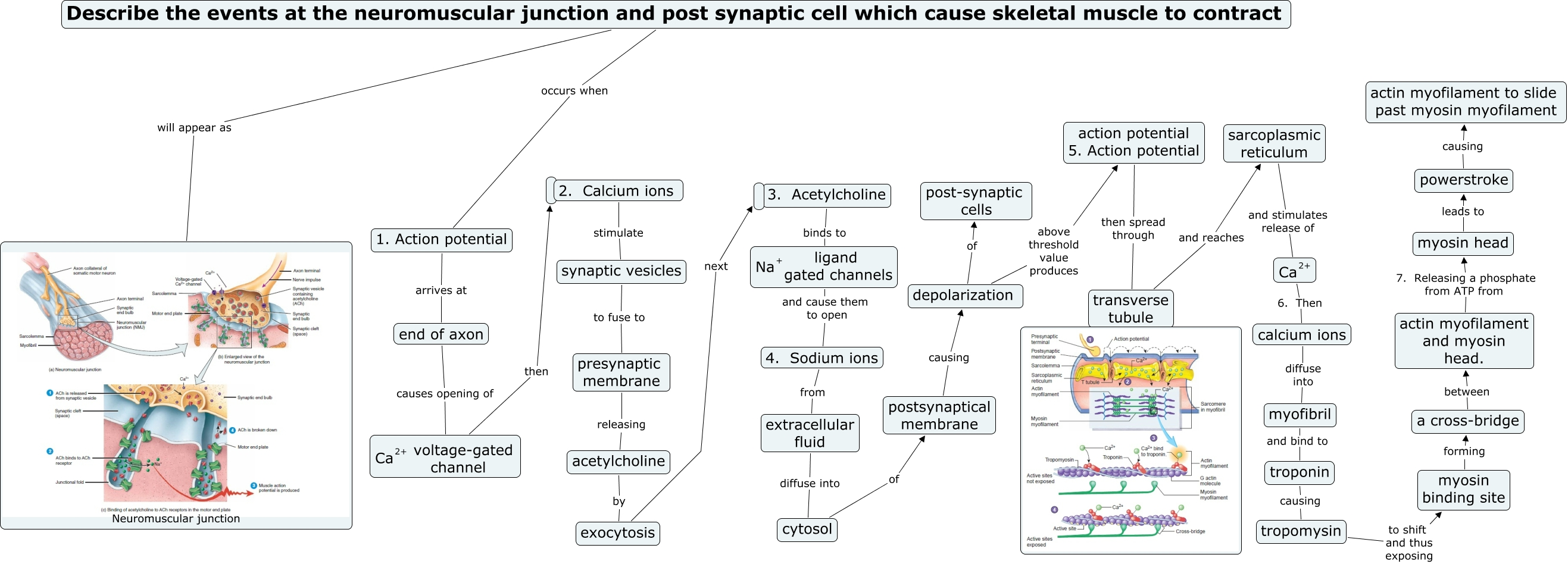 neuromuscular juntion and exocytosis how