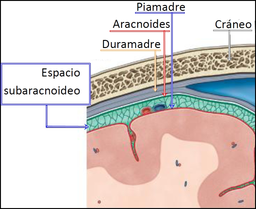 Contemporáneo Capas De La Anatomía Del Cerebro Molde - Imágenes de ...