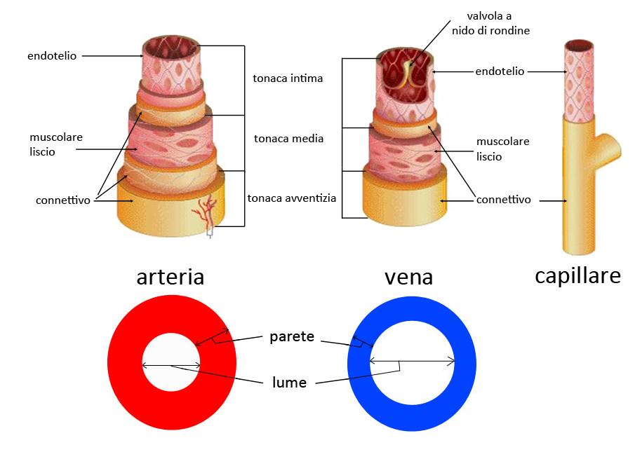Erfreut Vene Und Arterie Zeitgenössisch - Menschliche Anatomie ...