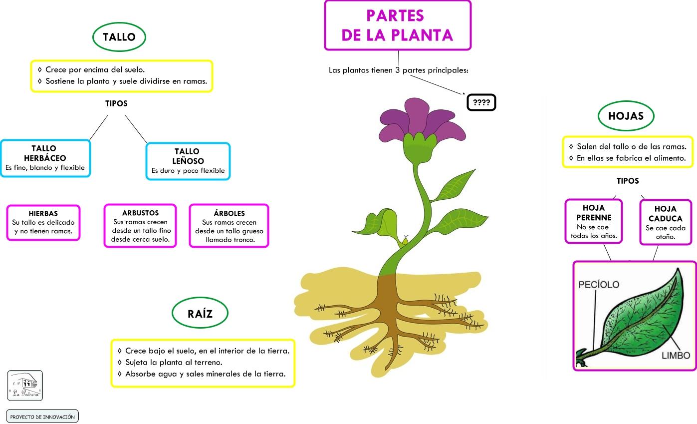 Partes de la planta for Arboles de hoja perenne que crece rapido
